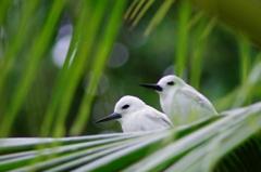 椰子の木陰で白鯵刺②