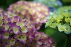 紫陽花 27