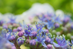 紫陽花 42