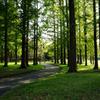 メタセコイアの森 7