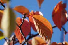 オレンジリーフ 1