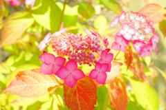 紫陽花 30