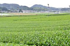 茶畑をゆく