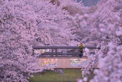 五条川の桜