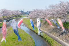 鯉のぼりは桜の小川を泳ぐ