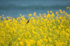 菜の花畑の小鳥