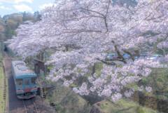 小さな駅の大きな桜