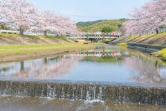 春の小川は桜色