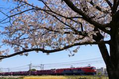 金太郎の春