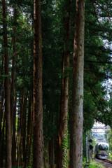 武蔵杉木立
