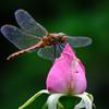 蜻蛉のめがねは薔薇色めがね