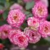 Petit Roses