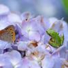 雨蛙と蜆蝶