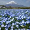 富士山とネモフィラ@花の都公園