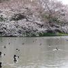 三渓園の桜(2)