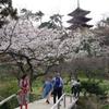 三渓園の桜(3)