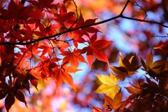織姫公園の紅葉(3)
