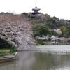 三渓園の桜(1)