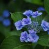 青いミニ薔薇