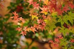 小石川後楽園の紅葉(2)