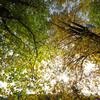 ユリノキの黄葉