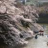 千鳥ヶ淵の桜 '19