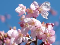 民家園 河津桜