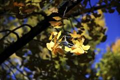 黄葉...1