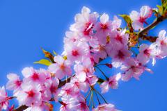 河津桜...4