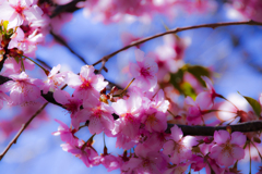 河津桜...3