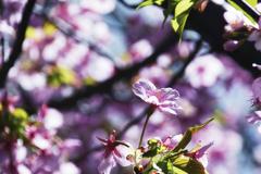 河津桜...1