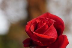 紅薔薇…2