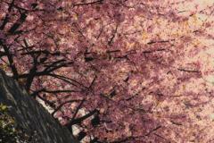 河津桜...2