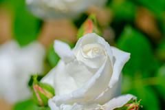 ホワイトローズ...1
