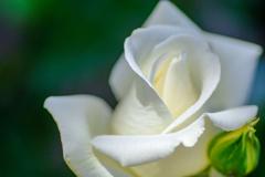 ホワイトローズ...2