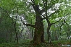 小雨煙る原生林