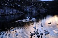 夕暮れの池に着陸2