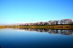日本の桜①