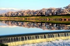 日本の桜②
