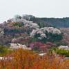桜舞う花見山