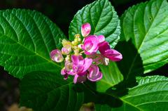 紫陽花今から咲くよ