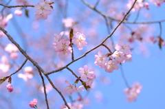 草津温泉の高嶺桜