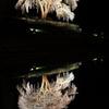 クラゲ桜2014
