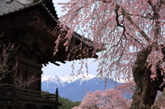 蔵沢寺の古桜