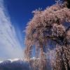 アルプスを望む桜