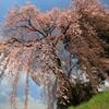 桜翼 椿とともに