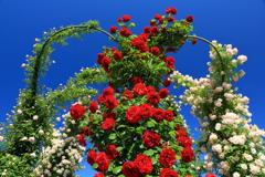 蒼穹のバラ