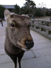 東大寺参道で出会った鹿くん。