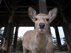 東大寺で出会った鹿くん。