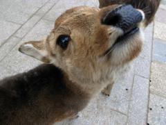 東大寺で出会ったちょっと微笑んだ鹿くん?